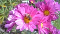 Bee Pollen Loving Pink Flowers