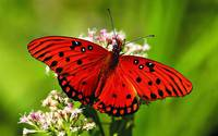 Red Butterfly On Flower