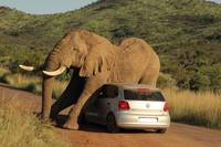 Mighty Grey Elephant Sits On Car
