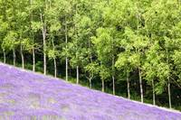 Lavender Field and Trees
