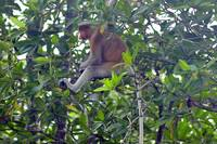 Proboscis Monkey, The Elusive