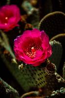 Red Beavertail Cactus
