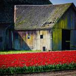 """BarnTulips2015-2019"" by CaptureLife"