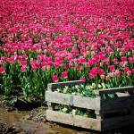 """PinkTulipsCutWhiteTulips2015-1982"" by CaptureLife"