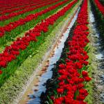 """RedFieldTulips2015-1922"" by CaptureLife"