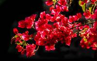 Shining  Bougainvillea