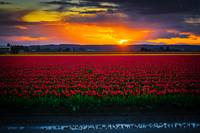 TulipSunset2015-2436