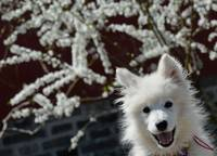 Samoyed Puppy Happy Selfie