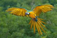 Blue and Yellow Macaw Bird Flying