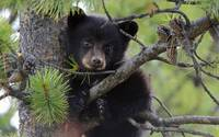 Baby Bear Cub In A Tree