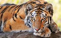 Beautiful Deadly Tiger Gaze, Hunter