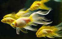 Yellow Goldfish Swimming