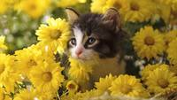Yellow Daisies Surround Tabby Kitten