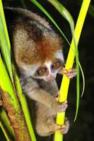 Slow Loris: My Dream Come True