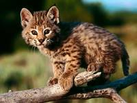 Cute Leopard Kitten On A Log