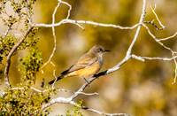 The Say's Phoebe