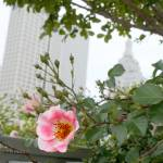 """Pink Rose of Tulsa signed"" by vineyard"
