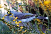 Noisy Miner in Oz signed