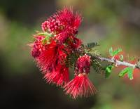 The Red Bottlebrush