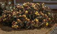 Beautiful Yellow Pickly Pear Cactus