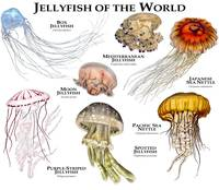 Jellyfish of the World