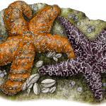 """Ochre Sea Stars or Starfish"" by inkart"