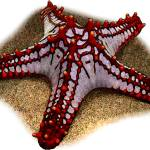 """Red-Knobbed Starfish"" by inkart"