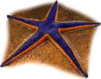 Royal Starfish