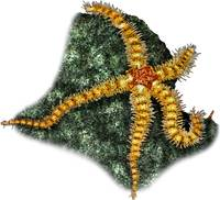 Spiny Brittle Star