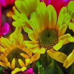 """Yellow Spring daisies"" by bloomingvinedesign"
