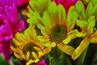 Yellow Spring daisies