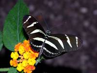 The Zebra Longwing Butterfly