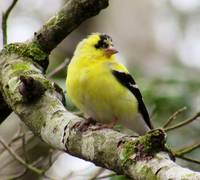 Yellow Male American Goldfinch
