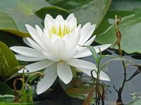 White Water Lily (Nymphaeaceae)