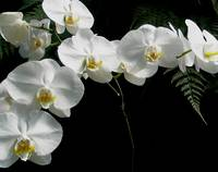 White Moth Orchids & Ferns