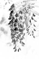 Wisteria Blossoms - Black and White