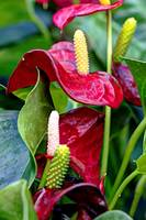 Arum Flower - Deep Red