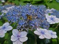 Blue Lace-Cap Hydrangea With Hover Fly