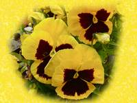 Deep Yellow Pansy