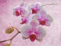 Pink Moth Orchids - Phalaenopsis