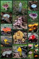 Pennsylvania Mushrooms Collage Montage