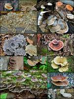 Bracket Fungi Montage - Pennsylvania - USA