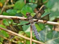 Dragonfly - Common Whitetail