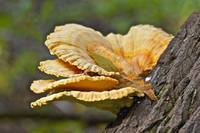 Hen In The Woods Shelf Fungus