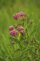 Marsh Milkweed Wildflower - Pink