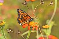Monarch Butterfly on Zinnea