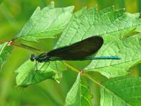 Ebony Jewelwing Damselfly -  Male - Calopteryx