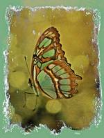 Malachite Butterfly - Tropical