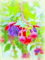 Dreamy Fuchsia Blossoms
