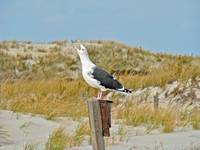 Black-Backed Gull - Larus marinus